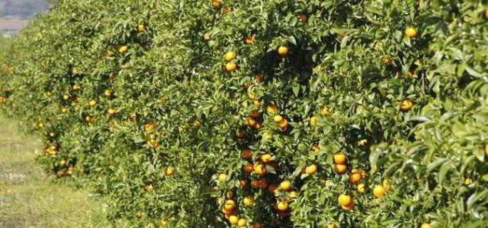 mandarina orri en huelva