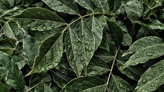 hojas-mandarinas-orri