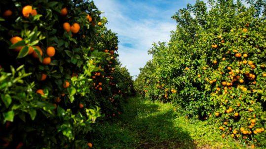 Mandarina-Orri
