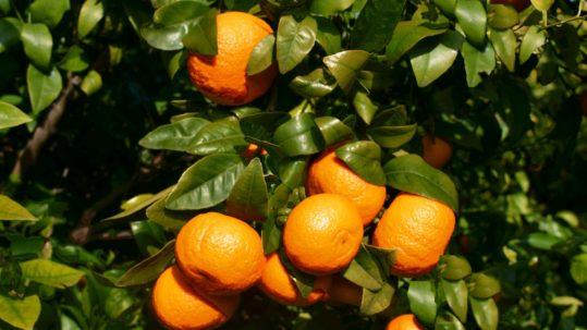 variedad vegetal Orri