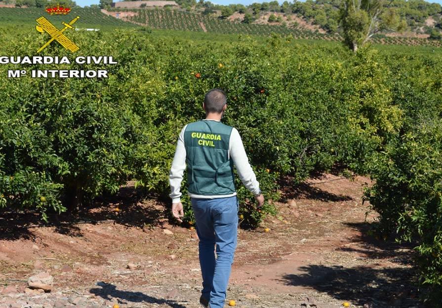 detenido-sagunto-variedad-ilegal-naranjos